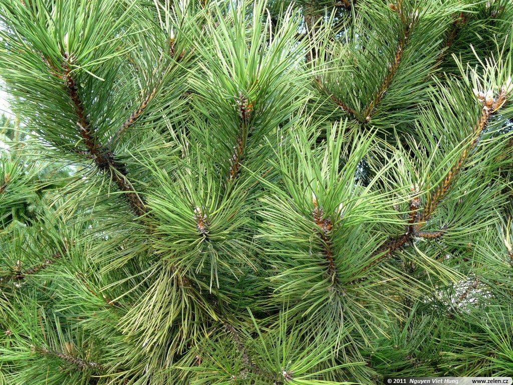 Borovice jako vánoční stromeček.