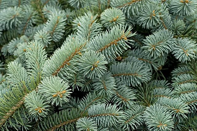 Smrk pichlavý jako vánoční strom.