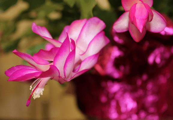 Červený vánoční kaktus