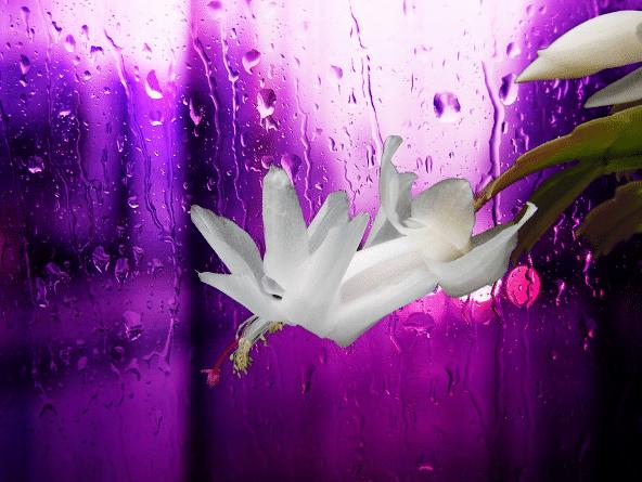 Květ vánočního kaktusu