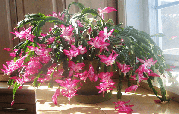 Vzrostlý vánoční kaktus