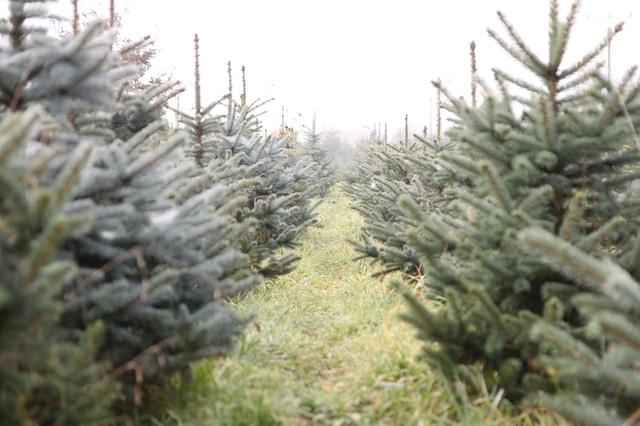 Školka živých vánočních stromků.