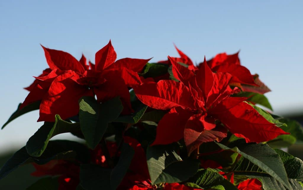 Červená vánoční hvězda jako typická sváteční květina.