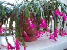 Vánoční kaktus s fuchsiovými květy- rady na pěstování.