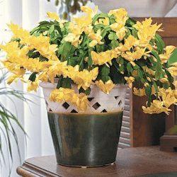 Návod na pěstování žlutého vánočního kaktusu.