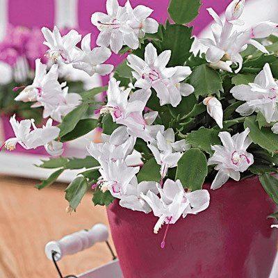 Bílé květy - jak pěstovat vánoční kaktus.