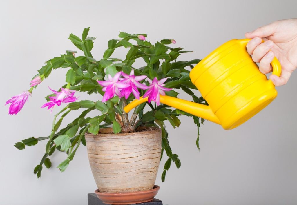 Návod jak často zalévat vánoční kaktus.