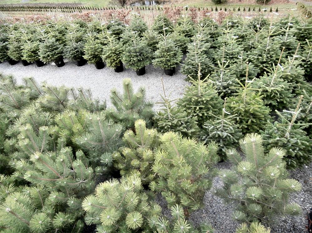 živé vánoční stromky mají na Vánoce dlouholetou tradici