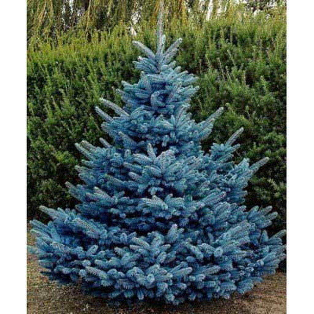 Modrý smrk s nezvyklým odstínem může navodit krásnou atmosféru.